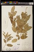view Croton officinalis (Klotzsch) Alston digital asset number 1