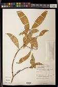 view Croton persimilis Müll. Arg. digital asset number 1