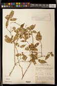 view Croton thwaitesianus Müll. Arg. digital asset number 1