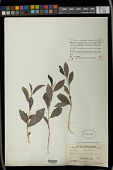 view Argythamnia polygama (Jacq.) Kuntze digital asset number 1