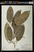 view Caryodendron amazonicum Ducke digital asset number 1