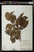 view Alchorneopsis floribunda (Benth.) Müll. Arg. digital asset number 1