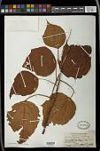 view Mallotus japonicus (Spreng.) Müll. Arg. digital asset number 1