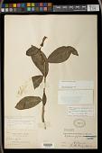 view Centropogon yungasensis Britton digital asset number 1