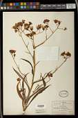 view Senecio prionopterus B.L. Rob. & Greenm. digital asset number 1