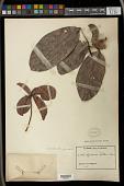 view Spondianthus preussii digital asset number 1
