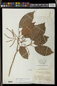 view Hieronyma oblonga (Tul.) Müll. Arg. digital asset number 1