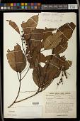 view Alchornea grandiflora Müll. Arg. digital asset number 1