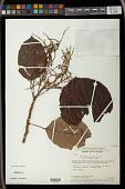 view Hieronyma laxiflora digital asset number 1
