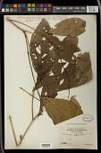 view Alchornea rugosa (Lour.) Müll. Arg. digital asset number 1