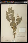 view Aporosa lanceolata Müll. Arg. digital asset number 1