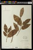 view Aporosa octandra (Buch.-Ham. & D. Don) Vickery digital asset number 1