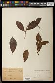 view Antidesma acuminatum Wight digital asset number 1