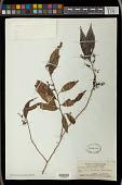 view Antidesma japonicum Siebert & Zucc. digital asset number 1