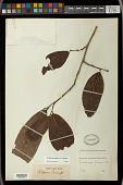 view Antidesma bunius (L.) Spreng. digital asset number 1