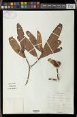 view Mischodon zeylanicus Thwaites digital asset number 1