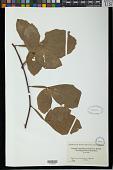 view Paullinia densiflora Sm. digital asset number 1