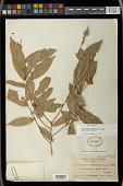 view Cleistanthus brideliifolius C.B. Rob. digital asset number 1