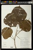 view Macaranga sphaerophylla Baker digital asset number 1