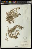 view Acalypha hederacea Torr. digital asset number 1