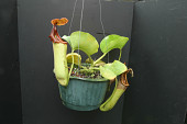 view Nepenthes truncata digital asset number 1