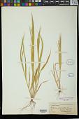 view Setaria pauciseta Vasey digital asset number 1