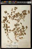 view Acalypha anadenia Standl. digital asset number 1