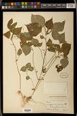 view Acalypha setosa A. Rich. digital asset number 1
