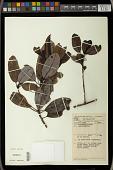 view Daphniphyllum sp. digital asset number 1