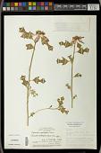 view Euphorbia heterophylla var. cyathophora (Murr.) Griseb. digital asset number 1