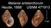 view Paludomus (Philopotamis) aristarchorum (Heude, 1888) digital asset number 1