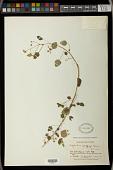 view Euphorbia poeppigii (Klotzsch & Garcke) Boiss. digital asset number 1