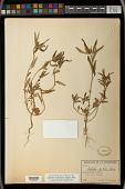 view Euphorbia cuphosperma (Engelm.) Boiss. digital asset number 1