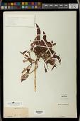 view Euphorbia pulcherrima Willd. ex Klotzsch digital asset number 1