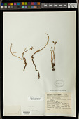 view Euphorbia radians Benth. digital asset number 1