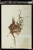 view Euphorbia sonorae Rose digital asset number 1