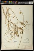view Euphorbia xanti Engelm. ex Boiss. digital asset number 1
