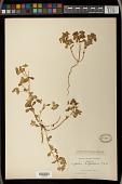 view Euphorbia spathulata digital asset number 1