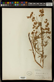 view Euphorbia esula L. digital asset number 1