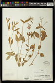view Euphorbia ariensis digital asset number 1