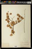 view Euphorbia californica Benth. digital asset number 1