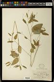 view Euphorbia graminea Jacq. var. graminea digital asset number 1