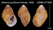 view Paludomus (Philopotamis) pacificans digital asset number 1