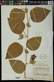 view Passiflora retipetala Mast. digital asset number 1