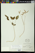 view Euphorbia mercurialina Michx. digital asset number 1
