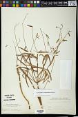 view Euphorbia pubentissima Michx. digital asset number 1