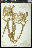 view Euphorbia bicolor Engelm. & A. Gray digital asset number 1