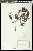 view Sapium sebiferum (L.) Roxb. digital asset number 1