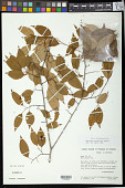 view Maprounea guianensis Aubl. digital asset number 1