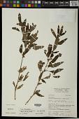 view Malvastrum coromandelianum subsp. coromandelianum (L.) Garcke digital asset number 1